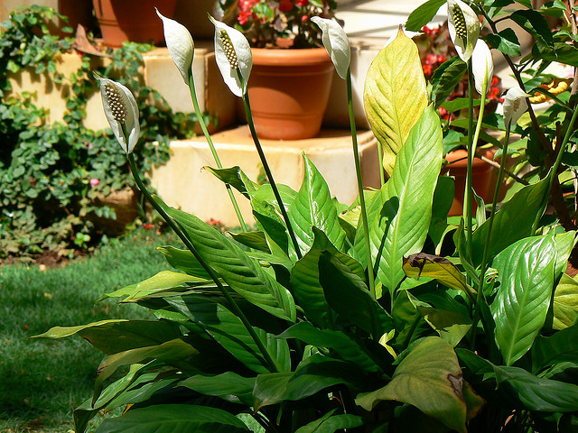 Top 10 air purifying house plants postconsumers for Buy air purifying plants